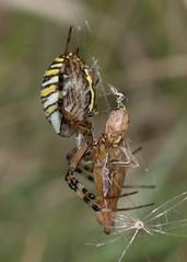 Female Argiope bruennichi (wasp spider) with prey (explored) (Anne Richardson) Tags: spider arachnid wildlife nature macro macrophotography baddesleycommon hampshire argiopebruennichi waspspider