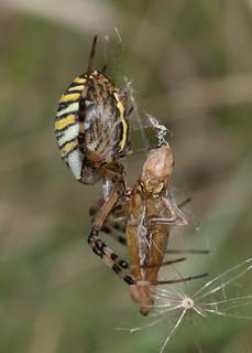 Female Argiope bruennichi (wasp spider) with prey (explored)