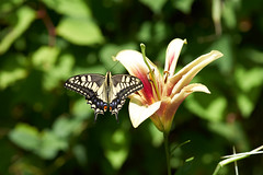 swallowtail (peaceful-jp-scenery (busy)) Tags: swallowtail アゲハチョウ iwatake lily hakuba mountain 白馬岩岳スキー場 ユリ園 マウンテンビュー 夏 ユリ 花 白馬 長野 日本 sony α99ⅱ a99m2 ilca99m2 amount minoltaafmacro100mmf28