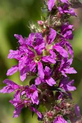 Lythrum salicaria (Purple Loosetrife) - Lythraceae - River Nene, Castor, Peterborough, UK (Nature21290) Tags: castor july2018 lythraceae lythrum lythrumsalicaria peterborough plant purpleloosetrife rivernene uk