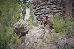 Brown Bear Brown Bear (michael.veltman) Tags: rocky mountains national park rmnp brown bear