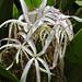 Kailua - Giant Spider Lily