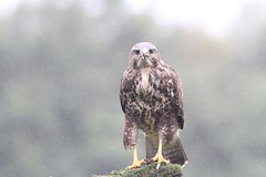 "Common Buzzard ""the stare"" (WiltsWildAboutBirds) Tags: aves mist wiltswildaboutbirds wales welshbirds thestare nature raptor birdofprey britishbirds buteobuteo commonbuzzard 11thsept2018"