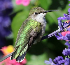 Female Hummingbird on Blue Sylvia (Happy Shuttering (Ruth) Off/On) Tags: coth alittlebeauty coth5