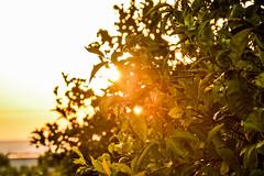 Hiding (ghismou1981bo) Tags: trees sunset sunlight sky leaves foglie green verde rayoflight bokeh nikon d5200 18105 sicily country countryside campagna italy sicilia siracusa tivoli lemontree