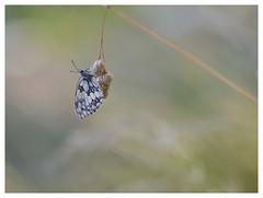Le balancier !!! (isabelle.bienfait) Tags: bétahon nature demideuil proxi proxiphoto sigma105 isabellebienfait butterfly papillon