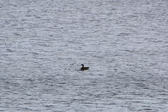 135. Canadian Goose, Emerald Bay (brottj316) Tags: laketahoe msdixieii emeraldbay canadiangoose