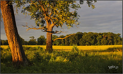 Long Summer Days. Part 1 (Picture post.) Tags: landscape nature green sunlight summertime trees arbre paysage shadows fields fence clouds morning morningsun