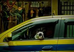 apreciando a vista (lucia yunes) Tags: bicho cachorro cão dog cenaderua voudetaxi mobilephoto mobilephotographie motozplay fotoderua streetphoto streetshot streetscene streetlife lifestreet chien luciayunes taxi
