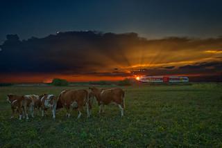Die Kühe genießen den Sonnenuntergang