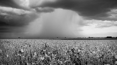 September Rain - B&W - Explored! (mjhedge) Tags: agriculture harvest autumn country champaigncounty illinois field sky storm weather rain farm rural soybeans landscape getolympus oly olympus penf 12100mm 12100 monochrome blackandwhite blackwhite bw highcontrast