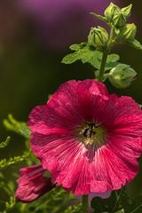 Bee's Knees_Ready for Red (maryanne.pfitz) Tags: hollyhock flower red buds plant nature bee honeybee insect keewanee wiscsonin maphollyhock6173 maryannepfitzinger