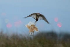 Kestrel robs Barn Owl (Terry Angus) Tags: barnowl bird predator birdofprey uk kestrel