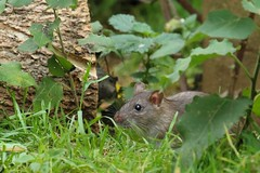 Peepo Ratty (Mrs Airwolfhound) Tags: rats cute furry wild animals canon 70d shadey trees wet winter