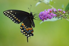 Black Swallowtail Butterfly (Anton Shomali - Thank you for over 1 million views) Tags: butterflies butterfly nature garden backyard flowers flower black swallowtail eastern papilio polyxenes macro sony camera closup green screensaver greatphotographers