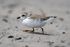 Pipping Plover (mathurinmalby) Tags: bird newhampshire pipingplover usa charadriusmelodus