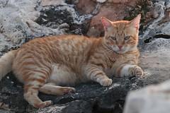 IMG_0198 Rubio, Mallorca (Fernando Sa Rapita) Tags: canon eos200d mallorca sarapita animal cat gatito gato mascota pet canoneos