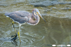 Looking For Catch Of The Day At HBSP (freshairphoto) Tags: wading tricolored heron fishing mud huntington beach state park myrtle sc artspearing nikon d500 200500 handheld