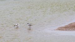 Avocette élégante (ZeGaby) Tags: birds naturephotography oiseaux parcdumarquenterre pentaxda300mm pentaxk1 wildlife recurvirostraavosetta saintquentinentourmont hautsdefrance france fr