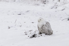 IMG_0142 (StephsShoes) Tags: snowyowl owl bird nature stratfordct