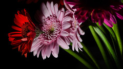 Vibrant daisies (PChamaeleoMH) Tags: cutflowers daisies flash home indoors macro gerberadaisies