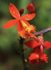 Epidendrum_radicans_Montebello_2_2 (Mark Egger) Tags: epidendrumradicans orchidaceae