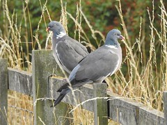 You watch that way, I'll watch this way! (Simply Sharon !) Tags: woodpigeons pigeons birds britishwildlife wildlife nature thryberghcountrypark