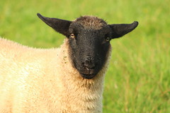 Suffolk lamb closeup (flxnn) Tags: sheep animal animals amateur lamb farm farming nature livestock grassland agriculture pet outdoors ireland portrait closeup summer wool coat suffolk breed young mammal rural field