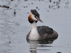 Great Crested Grebe (Tim Worfolk) Tags: greatcrestedgrebe grebe podicepscristatus cardiffbay podicipedidae
