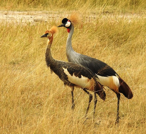 1355ex  adult and juvenile Crowned Crane