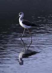 Reflejo  - reflection (ibzsierra) Tags: refkejo reflection ave bird oiseau cigüeñuela xerraire ibiza eivissa baleares canon 7d tamron g2 150600 salinas parque natural