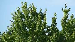 Tree Swallow_5907_08_09.mp4 (Henryr10) Tags: eastforklake eastforkstatepark bethelohio littlemiamiriverbasin usa southbeach tachycinetabicolor tachycineta bicolor treeswallow swallow avian bird vogel ibon oiseau pasare fågel uccello tékklistar tres