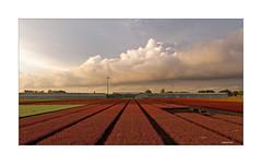 Niederrhein - HeideKulturen II (Babaou) Tags: deutschland niederrhein nrw kreiskleve kevelaer gartenbau gewächshaus callunen eriken agrobusiness dxopl wolken september rural