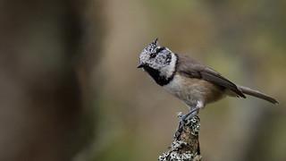 Finnish bird (Suomen lintu)