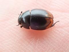Sphaeridium lunatum (lloyd177) Tags: sphaeridium lunatum beetle dorset melbury abbas nature reserve
