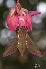 Deilephila elpenor (valenmui) Tags: deilephila elpenor sphingidae valentinmuiños macro