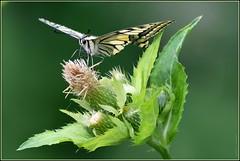 Le Machaon ou Grand porte-queue ( Papilio machaon ) Distance Focus : 3.55 m *** Image no Photoshop , no Lightroom et no Groupes *** (Norbert . L . PHOTO) Tags: papillonmachaon grandportequeue butineur nikon d500 nikkor200500mmf56