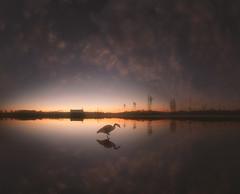 7310 (petrisalonen) Tags: sunrise nature finland night goose canadagoose mirror reflection fin summer light maisema järvi sky clouds sunset photoshop bird birdphotography