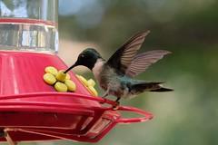 Ruby Throated Humming Bird 02 09.12.18 (Gene Ellison) Tags: bird himmingbird rubythroated feathers beak feeder