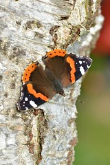 Red Admiral (Vanessa atalanta) (Andrew Cooper Photography) Tags: redadmiral animal butterfly butterflies beautiful brown black closeup colourful colour closeupphotography entomology flickr insect macro macrophotography macrophoto nature natural naturephotography new photography photooftheday pattern red texture tree trees unitedkingdom wildlife wildlifephotography wild wings white wood woodland fall autumn sigma september