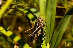 Grasshopper (rungegraphy) Tags: grass culm grasshopper insect croatia novalja kustici heuschrecke