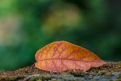Falling Autumn. (Omygodtom) Tags: nature season autumn fall leaf macro bokeh tamron90mm natural flickriver outside lowkey america oregon