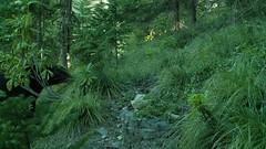 Black bear - trail camera (perensovichk) Tags: black bear ursus kameron perensovich predator scent marking wild wildlife mammal outdoor forest trees oregon americanus