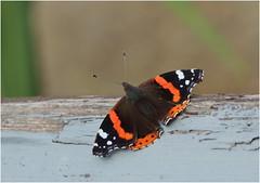 Red Admiral (jenny*jones) Tags: redadmiral vanessaatalanta nymphalidae brushfootedbutterfly lepidoptera westyorkshire gtbritain summer2018 canon canon70d canon180mmmacro naturephotography naturalworld