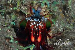 Mantis shrimp (chk.photo) Tags: indonesia nature scuba dive bali diving tauchen tier ocean natur naturemasterclass naturewatcher underwater animal
