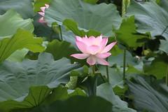 黿頭渚公園 (沐均青) Tags: chinese travel summer china water lake arch bridge lotus boat green pink reflections