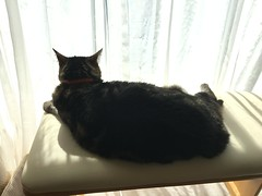 Tigger Enjoys the View and the Sun (sjrankin) Tags: 18august2018 animal cat tigger bench sun window curtains relax rest livingroom kitahiroshima hokkaido japan