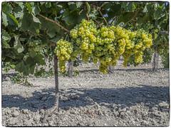 CEPA DE UVA PALOMINO FINO (BLAMANTI) Tags: viñedos viñas vendimia viticultura vinos vino verde uva uvas palomino palominofino jerezdelafrontera jerez bodegasfundador elmajuelo blamanti olympus olympusomd madura frutos