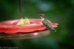 Ruby-throated Hummingbird (jwfuqua-photography) Tags: backyardbirds nature jwfuquaphotography peacevalleynaturecenter jerrywfuqua pennsylvania birds buckscountyparks buckscounty rubythroatedhummingbird