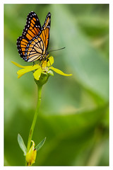 Viceroy (Ted Bowman Photography) Tags: butterflies nature insects tamron150600f563g2 ottawanationalwildliferefuge